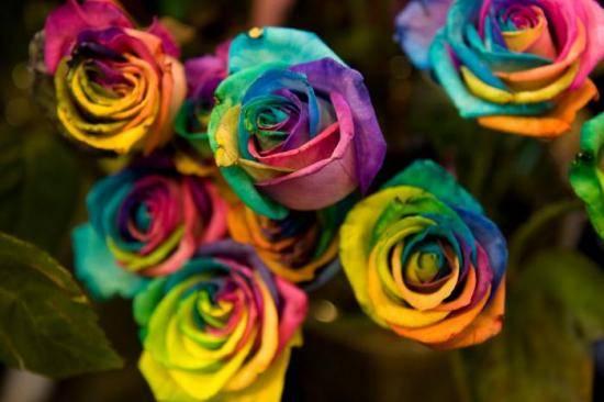 Роза рейнбоу