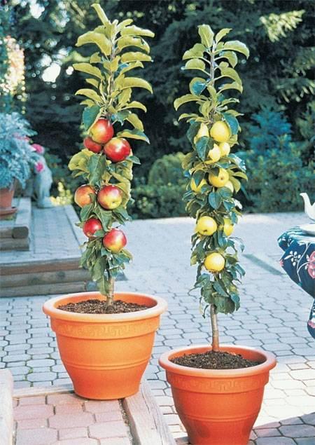 Колоновидные яблони сорта фото