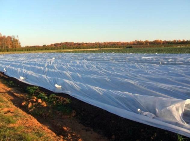 Укрыть клубнику на зиму агроволокном