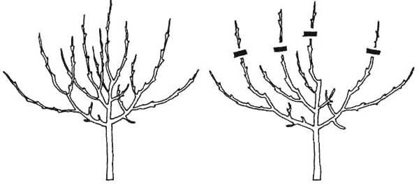 Обрезка однолетних саженцев яблони