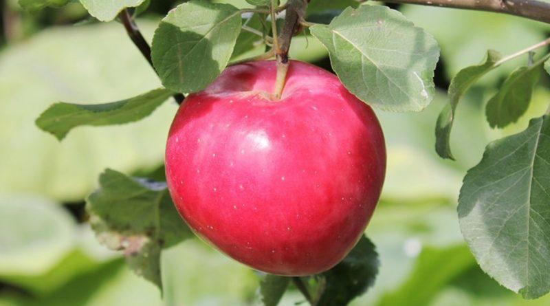 Сорта яблонь для кубани с фото