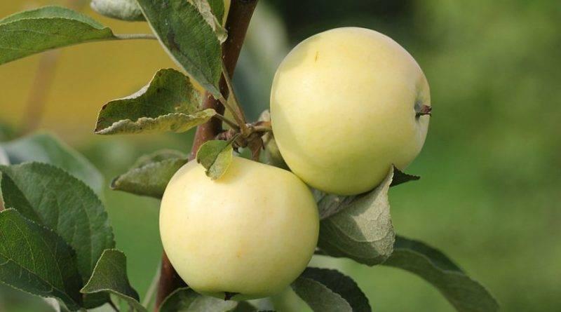 Рецепт приготовления моченых яблок в домашних условиях