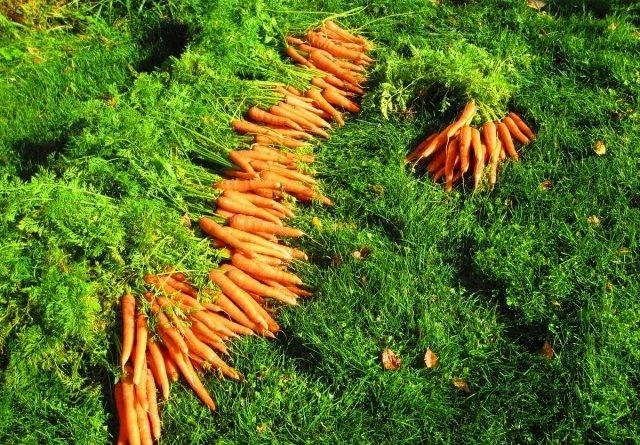 Как растет морковь фото