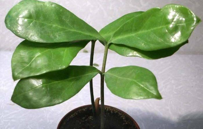 Как растет долларовое дерево