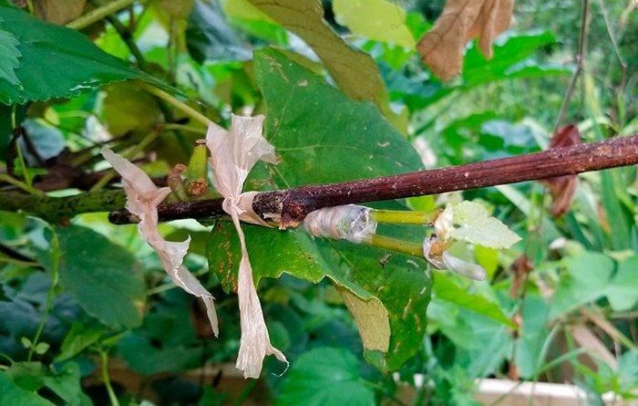 Прививка винограда осенью для начинающих видео