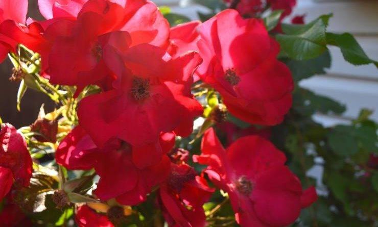 Морозоустойчивые розы для подмосковья