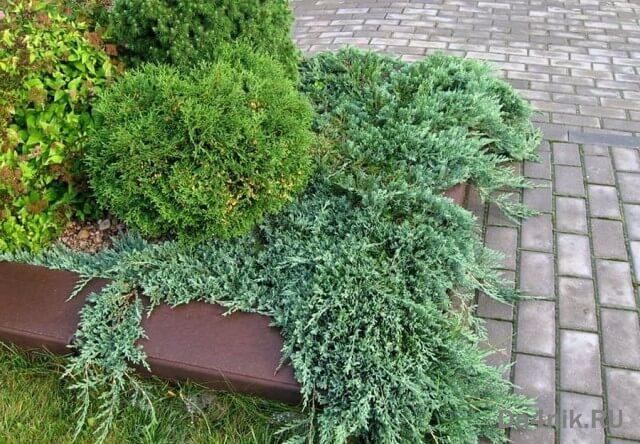 Ползучие растения фото и названия