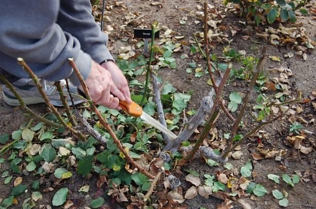 Обрезка роз осенью видео для начинающих