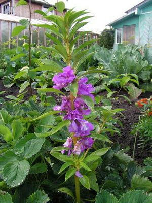 Растение бальзамин фото