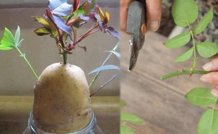 Размножение роз черенками в домашних условиях видео
