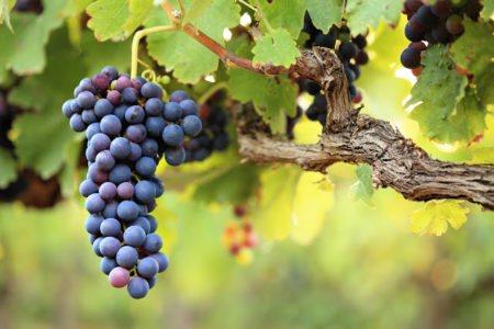 Как правильно сажать виноград осенью