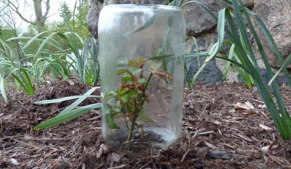 Укоренение черенков роз осенью дома