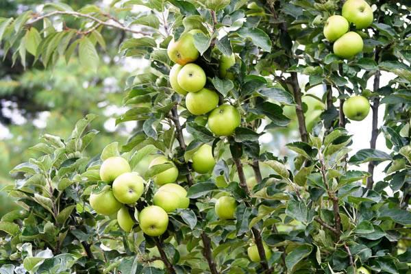 Карликовые яблони ежегодного плодоношения для подмосковья