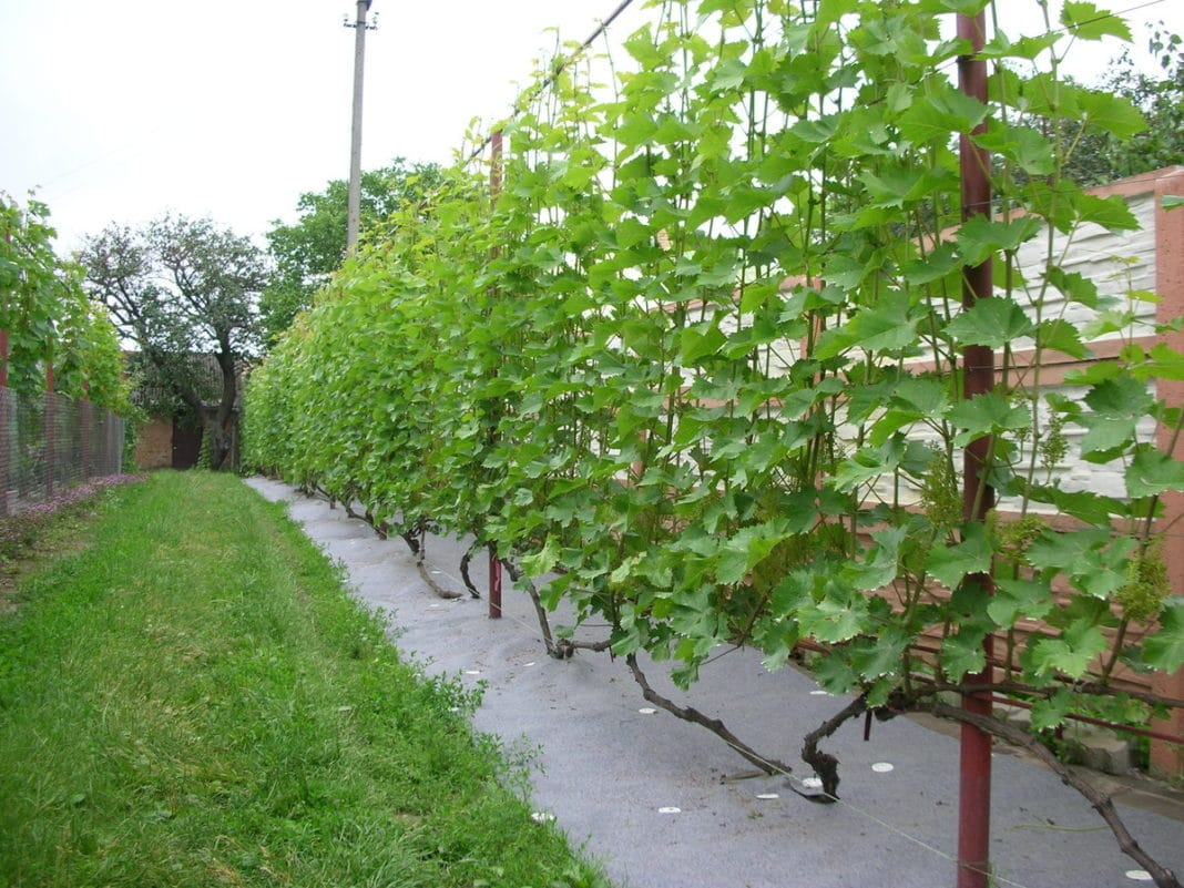Подпорки для винограда фото
