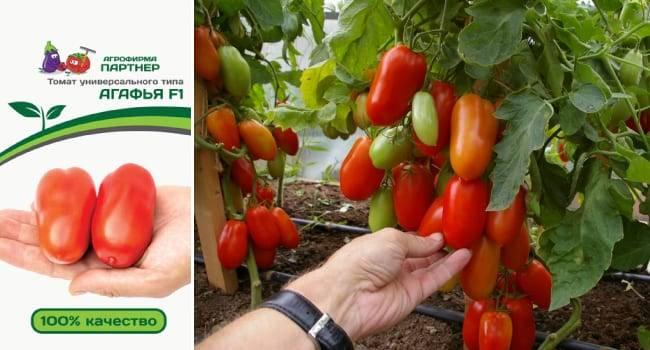 Тепличные сорта томатов высокоурожайные стойкие к болезням