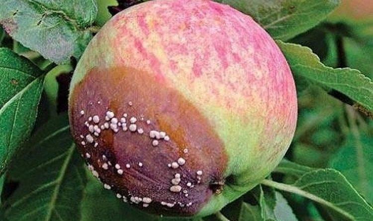 Яблоки гниют на дереве и падают почему