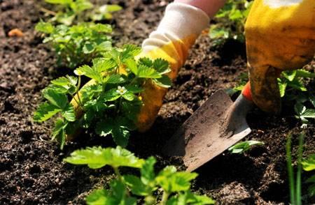 Подготовка к зиме клубники садовой