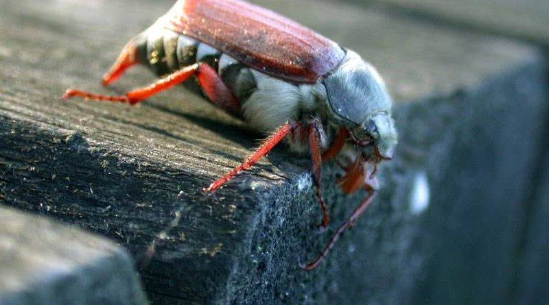Где живут личинки майского жука