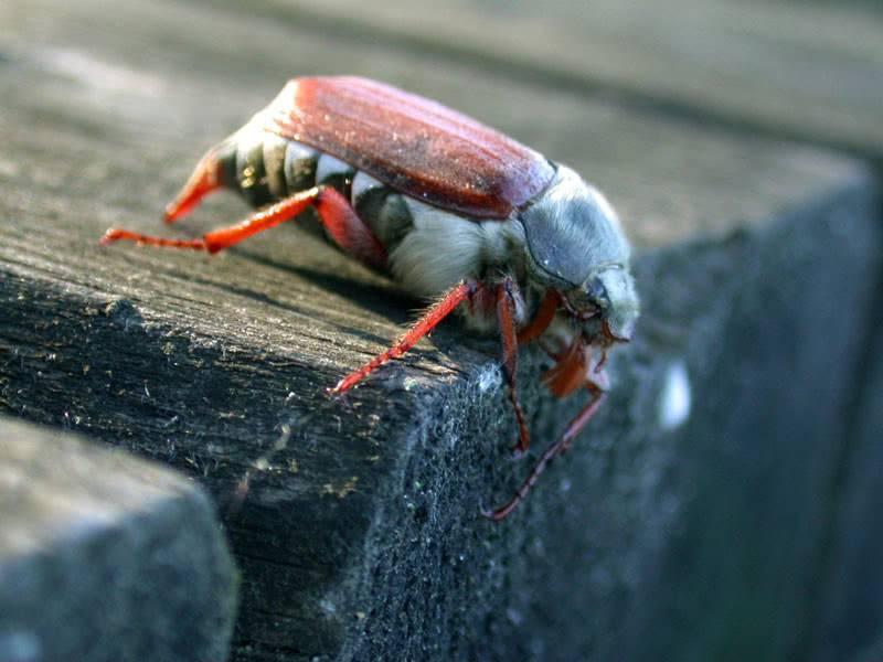 Чем питается личинка майского жука