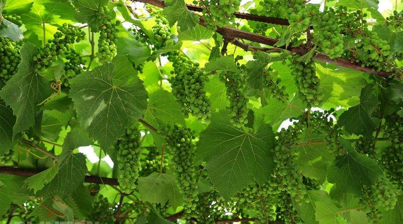 Формировка винограда на шпалере