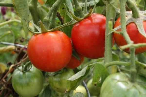 Парник для помидоров
