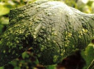 Болезни огурцов фото листьев лечение
