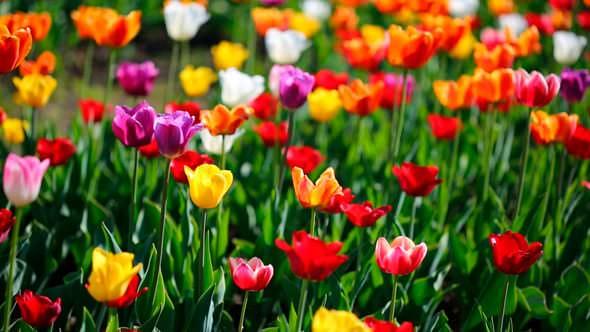 Какого цвета бывают тюльпаны