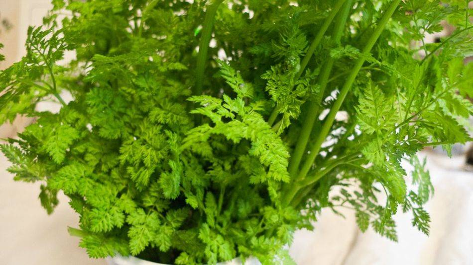 Выращивание зелени в квартире зимой