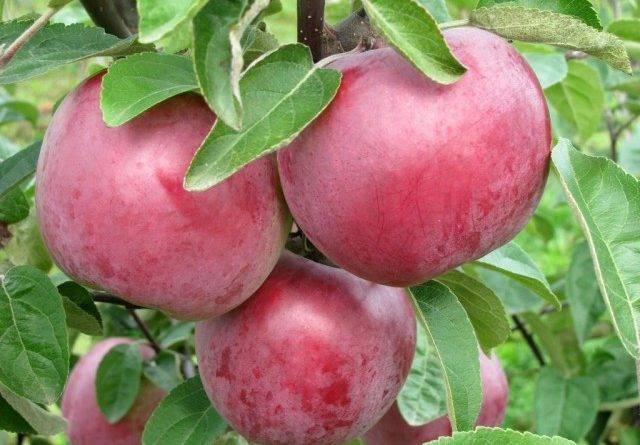 Сладкие сорта яблонь для средней полосы
