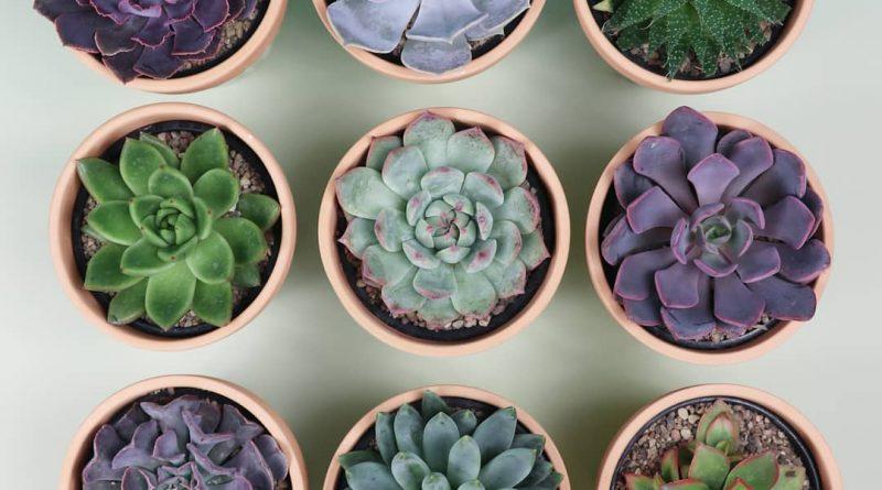 Каменный цветок растение фото