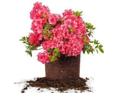 Азалия розовая фото