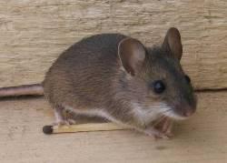 Какие запахи не переносят мыши
