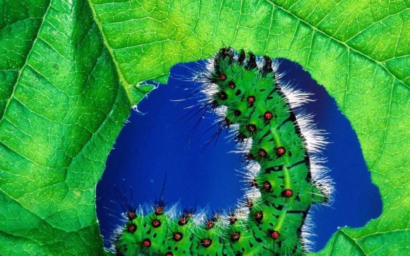 Выращивание крыжовника на приусадебном участке