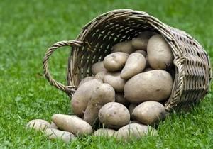 Сбыт картофеля