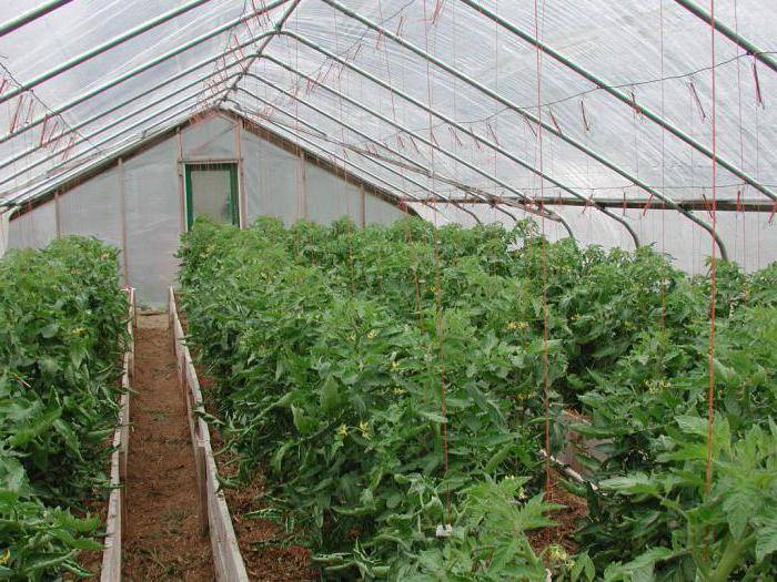 Сорт помидор марьина роща