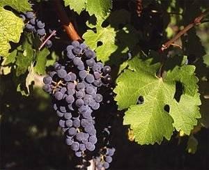 Технический виноград