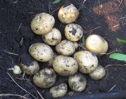 Картофель семенами выращивание