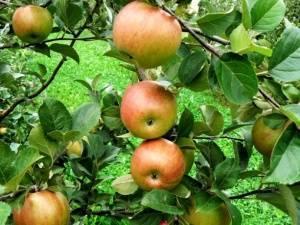Яблоня зорка дегустационная оценка вкуса