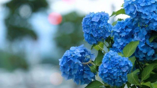 Гортензия голубая посадка и уход