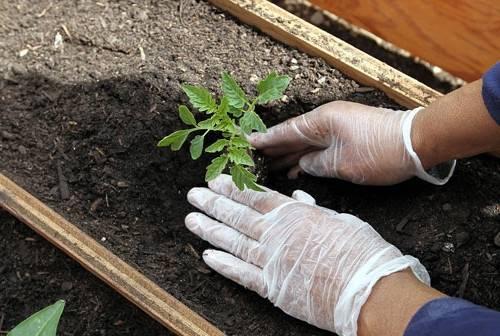 Как посеять томаты на рассаду