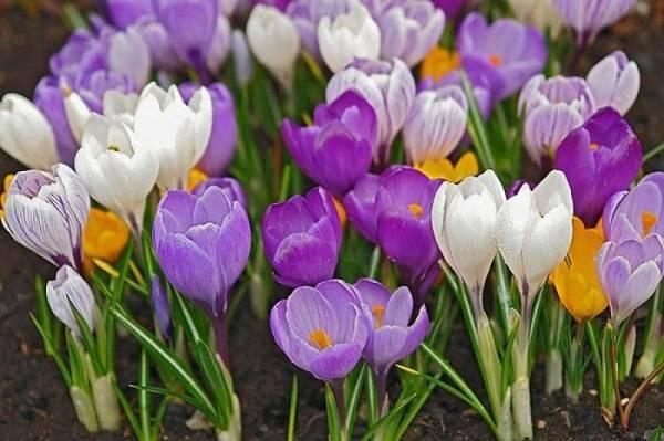Пересадка цветущих крокусов