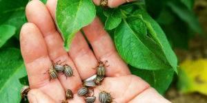 Яд от колорадского жука самый эффективный