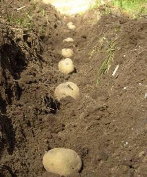 Как посадить картошку на зиму