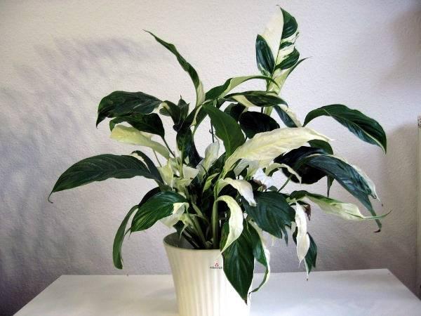 Каким комнатным растениям не нужен свет
