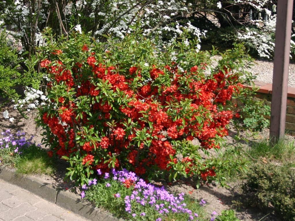 Кустарник цветущий все лето и осень