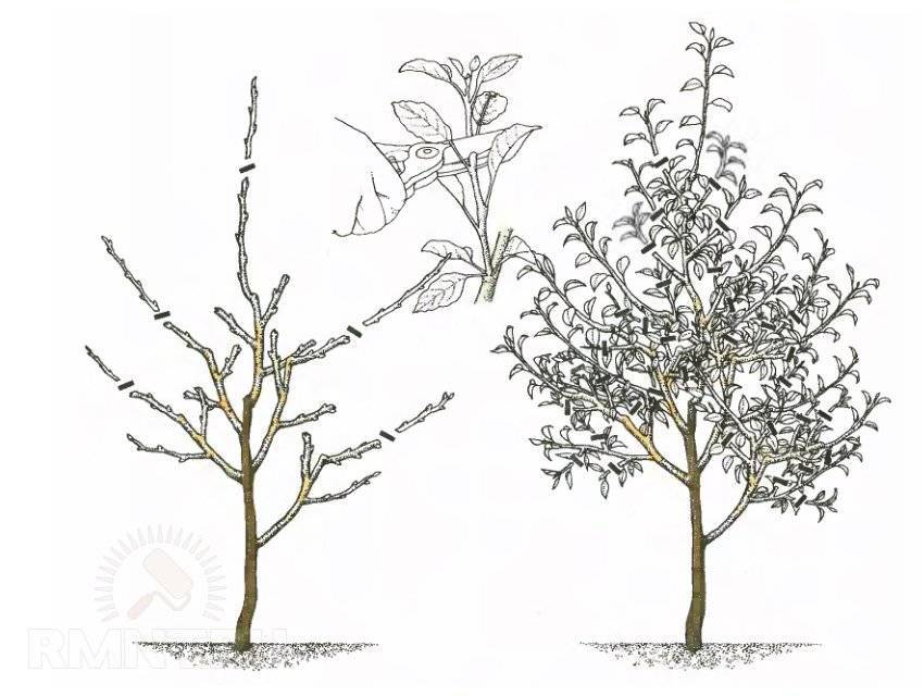 как формировать карликовую яблоню