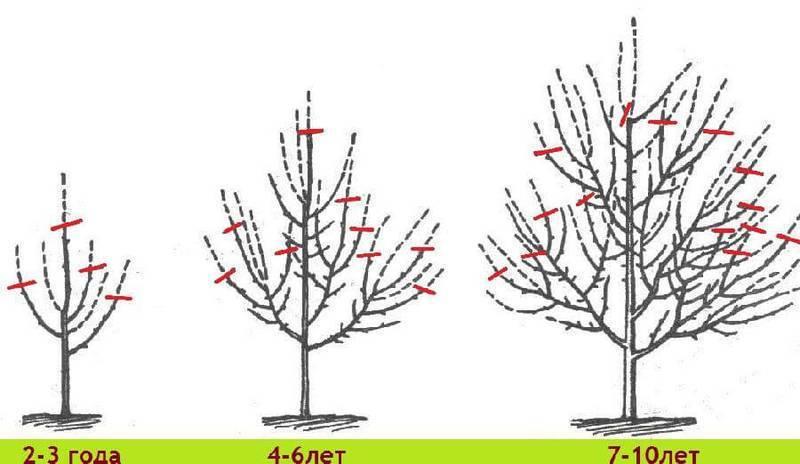 Как правильно производить обрезку яблонь