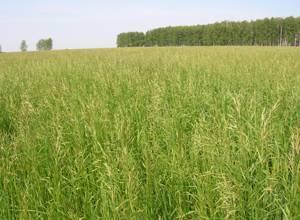 Трава костер фото
