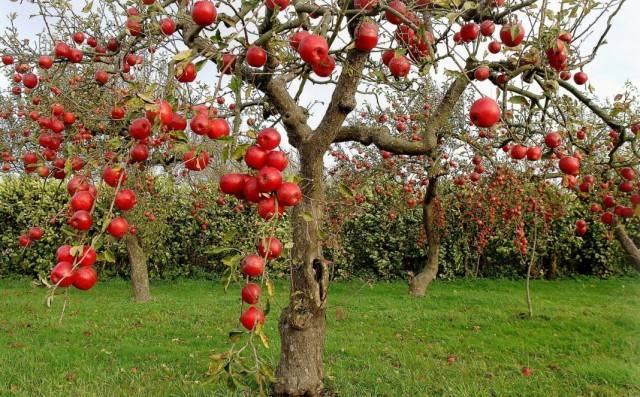 Российские сорта яблок