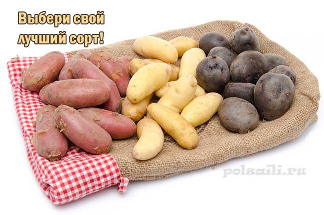 Красная картошка сорт